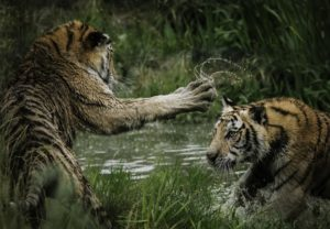 tigers playing